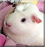 Poppy the English Crested Guinea Pig