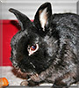 Tobi the Dwarf Rabbit