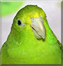 Minty the Green Rumped Parrotlet