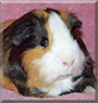Jeepers the Guinea Pig