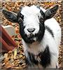 Jack Jack the Pygmy Goat