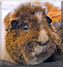 Minsten the Guinea Pig