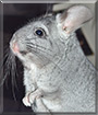 Lilith the Chilean chinchilla