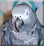 Smokey the Congo African Grey