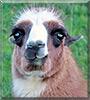 Pearl the Llama