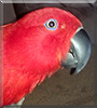 Ruby the Solomon Island Eclectus