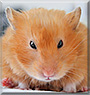 Minerva the Syrian Hamster