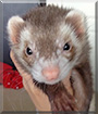 Oscar the Ferret