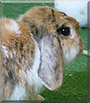 Bella the Lop Rabbit