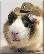 Latte the Abyssinian Guinea Pig