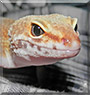Citrus the Leopard Gecko