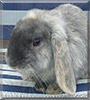 Tilly the Lop Eared Rabbit