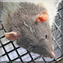 Little Rat the Dumbo Rat