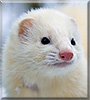 Lune the DEW Ferret