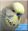 Chip the English Budgie