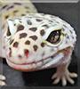 Oltenia the Leopard Gecko