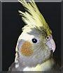 Tobey the Cockatiel