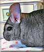 Pikachu the Grey chinchilla
