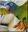 Gilbert the Blue Crown Conure