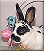 Kismet the Mini Rex Rabbit