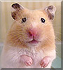 Crumpet the Syrian Hamster