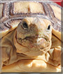Bulldozer the Sulcata Tortoise
