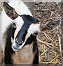 Cinnamon the Nigerian Dwarf Goat