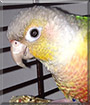 Pistol the Green Cheek Conure