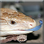 Skanky the Northern Blue Tongued Skink