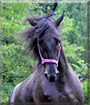 Pearl the Tennessee Wallking Horse