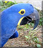 Dakota Rae the Blue Hyacinth Macaw