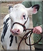 Alice the Holstein Cow