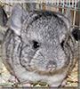 Zuri the Chinchilla