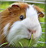 Essie the Guinea Pig