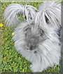 Blue the English Angora Rabbit