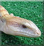Chai the Northern Blue Tongue Skink