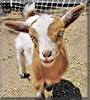 Pumpkin Pie the Nigerian Dwarf Goat