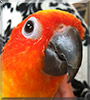 Kermit the Sun Conure