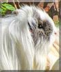 Patch the Sheltie Guinea Pig