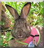 Earl Slidell the Rabbit