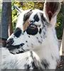 Beau the Nigerian dwarf goat