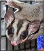 Zei Zei the Sugar Glider