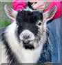 Golden Boy the Pygmy Goat