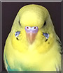 Twigs the Budgie Parakeet