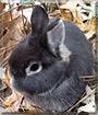 Thor the Rabbit