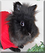 Tribble the Lionhead Rabbit