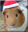 Thor the Guinea Pig