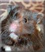 Furry Monka the Syrian Hamster