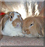 Betty, Barney the Lop lionhead and Lop rabbits
