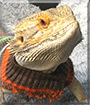 Toothless the Bearded Dragon